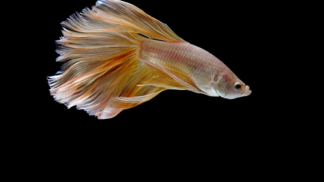 betta - siamese fighting fish stock videos and b-roll footage