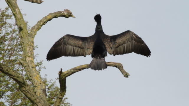 hd video cormorant phalacrocorax carbo drying wings and preening - animal wing stock videos & royalty-free footage