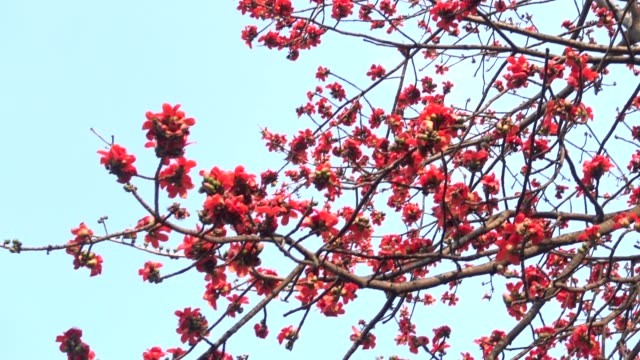 beutiful kapok blossoming in morning - guangzhou stock videos & royalty-free footage
