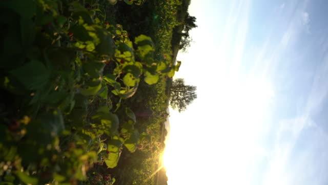beutiful summer sun set in the raspberry field - brambleberry stock videos & royalty-free footage