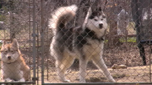 beware of dog! - malamute stock videos and b-roll footage