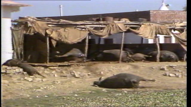 stockvideo's en b-roll-footage met madhya pradesh bhopal ext ms dead and bloated mules by leanto in village ts dead mule on ground video ex upitn via sat txd 41284/nat tape 11595... - bhopal