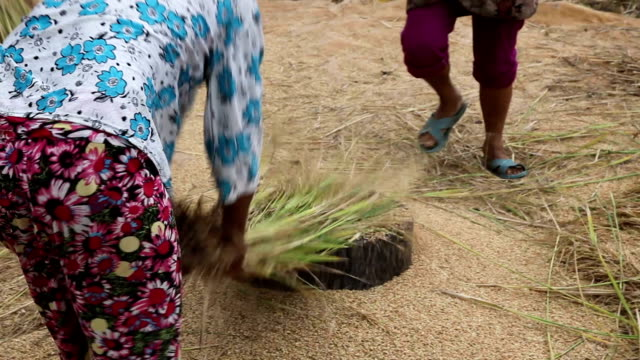 vídeos de stock e filmes b-roll de bhutan, punakha - ramo parte de uma planta