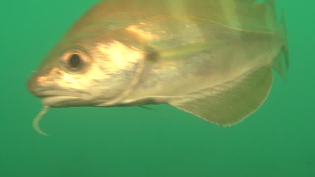 bib (trisoptorus luscus) bcu over wreck, english channel. uk - タラ点の映像素材/bロール