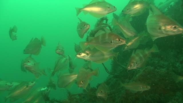 bib fish.  channel islands, british waters - タラ点の映像素材/bロール