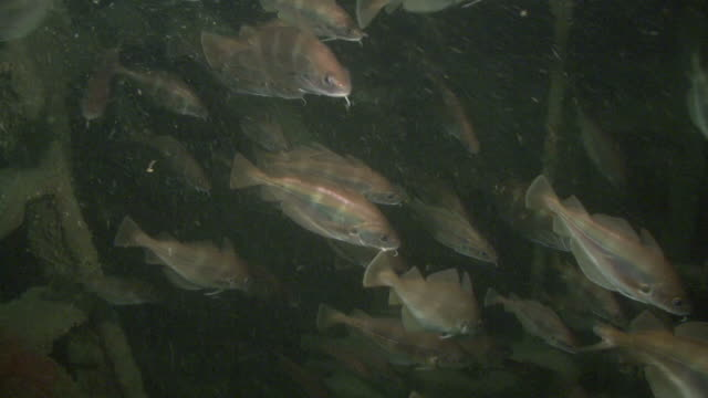 bib (pouting) fish group facing curent cu. channel islands, british waters - タラ点の映像素材/bロール