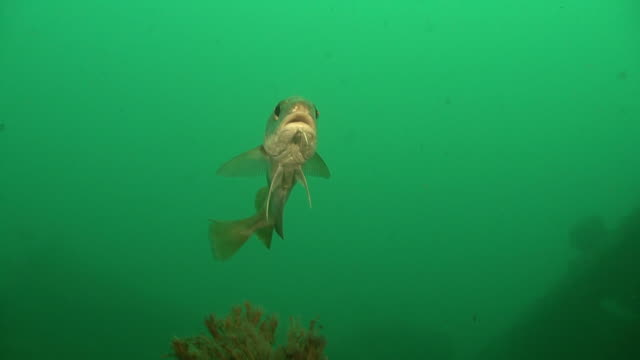 Bib fish on reef, typical water colour for the area. Channel Islands, British waters