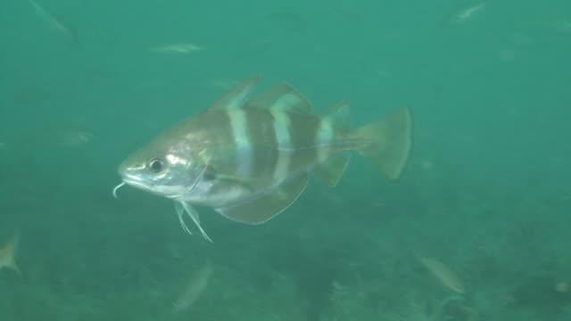 bib (trisoptorus luscus) cu over wreck, english channel. uk - タラ点の映像素材/bロール