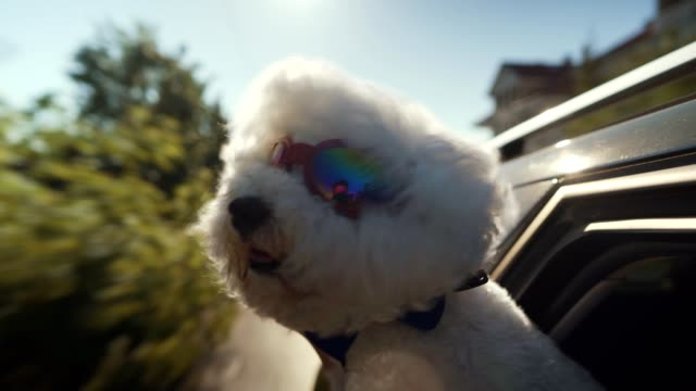 bichon frise enjoying car ride - one animal stock videos & royalty-free footage
