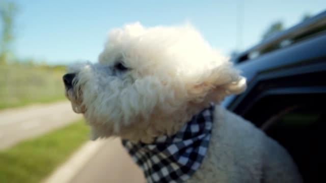 bichon frise enjoying car ride - plaid stock videos & royalty-free footage