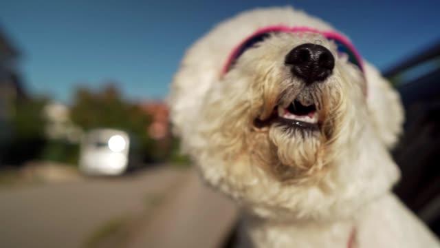 bichon frise genießt autofahrt - sonnenbrille stock-videos und b-roll-filmmaterial