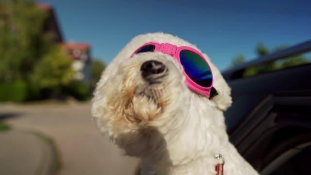 bichon frise genießt autofahrt - schutzbrille stock-videos und b-roll-filmmaterial