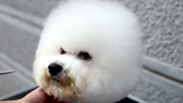bichon frise grooming araound eye - grooming stock videos & royalty-free footage