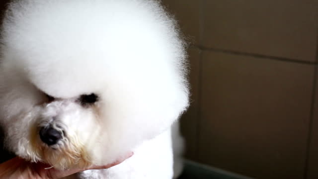 bichon frise grooming head - crimped hair stock videos and b-roll footage