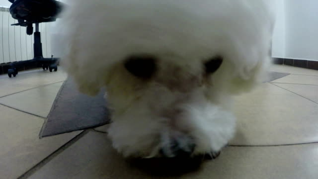 bichon frise puppy eating food dog from the floor.4k - breeder stock videos and b-roll footage