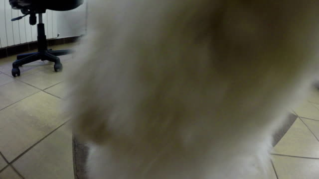 bichon frise puppy eating food dog from the hand.4k - havanese stock videos & royalty-free footage