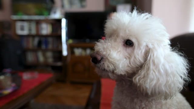 Bichon frise sitting on sofa and waiting for his owner