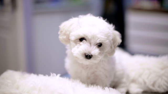 bichon puppy - pampered pets stock videos and b-roll footage
