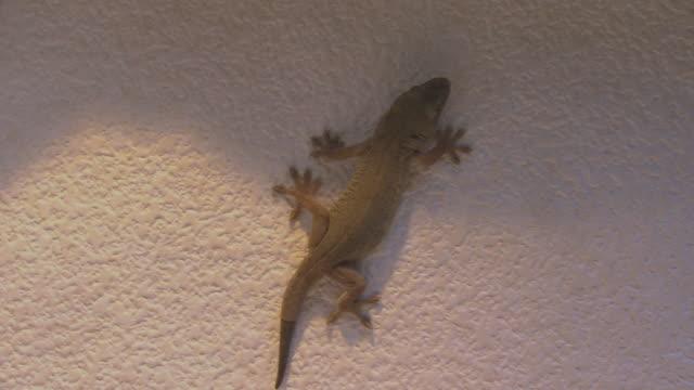 bicolored gecko lizard - reptile stock videos & royalty-free footage