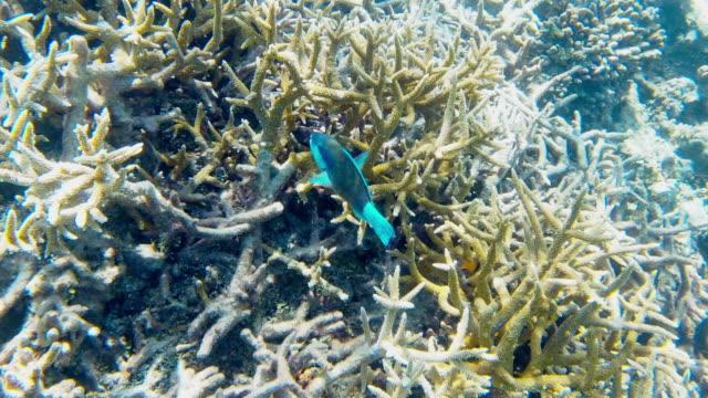bicolour parrotfish in maldives - parrotfish stock videos & royalty-free footage