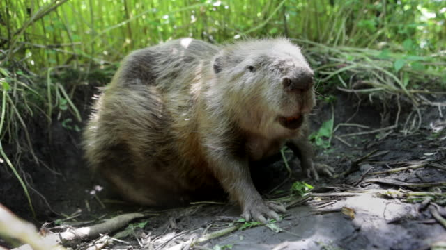 biesbosch national park. beaver - beaver stock videos & royalty-free footage