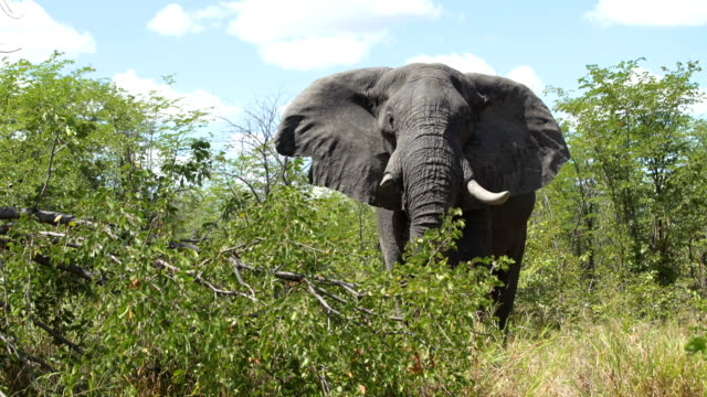 big african elephant - south africa stock videos & royalty-free footage