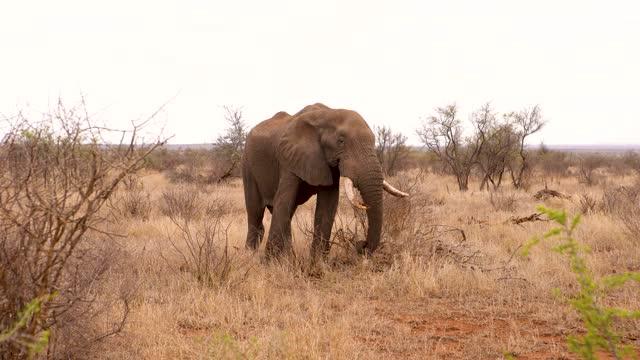 vídeos y material grabado en eventos de stock de big african elephant with large tusks eating herbs in the middle of a bush area in the savannah - protección de fauna salvaje