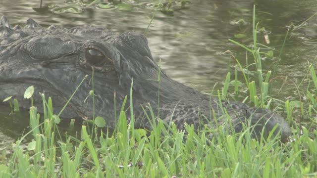 big alligator 3-hd-bis 30 - tierkörper stock-videos und b-roll-filmmaterial