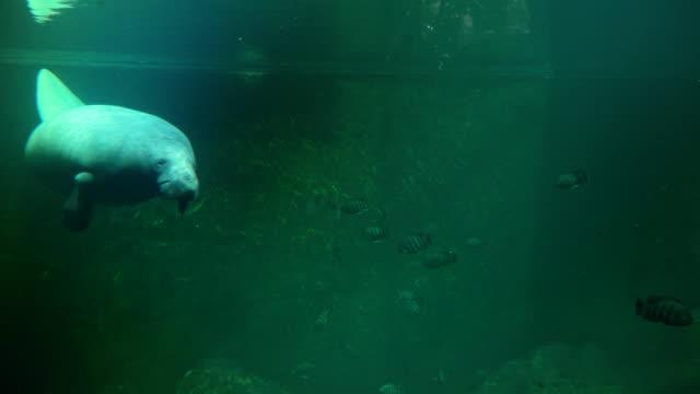 Big American manatee swimming