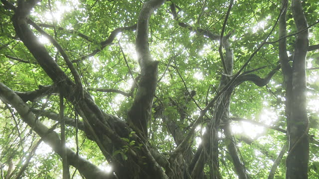 big banyan tree, okinawa, japan - satoyama scenery stock videos & royalty-free footage