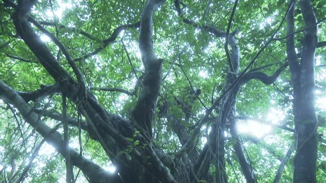 big banyan tree, okinawa, japan - tree trunk stock videos & royalty-free footage