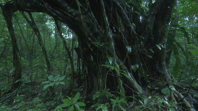 big banyan tree, okinawa, japan - 大きい点の映像素材/bロール