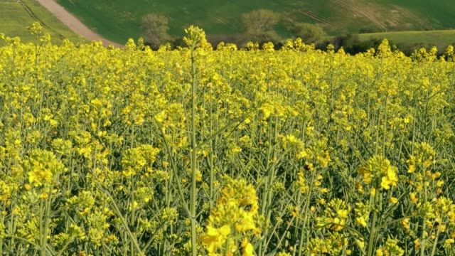big bee flying between yellow canola oil flowers and collect nectar at sunny day. flowering oilseed rape and insects - rapeseed oil stock videos and b-roll footage