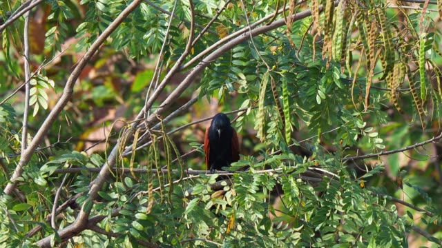 big black and brown bird perched on tree among green lush foliage.  greater coucal - tropical tree stock videos & royalty-free footage