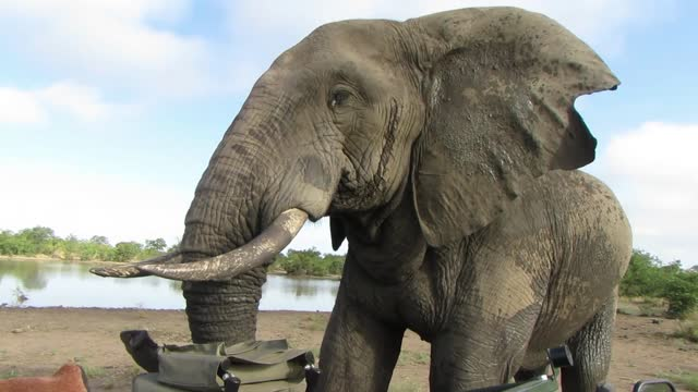 big bull elephant scratches his trunk against safari vehicle during scary close encounter - wildlife reserve stock videos & royalty-free footage