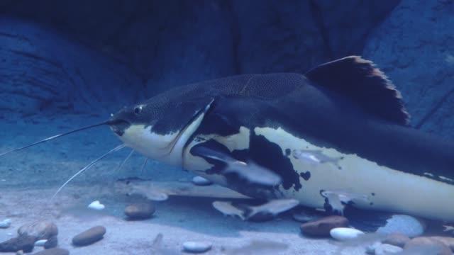 Big catfish. Phractocephalus hemioliopterus