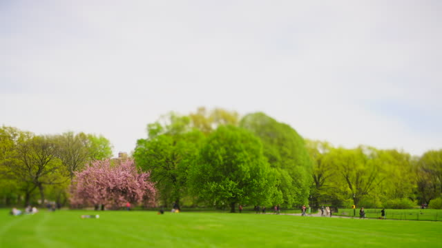big cherry blossom trees stand among the fresh green trees on the great lawn in central park new york city ny usa on apr. 29 2019. people relax on the lawn. - great lawn stock videos and b-roll footage