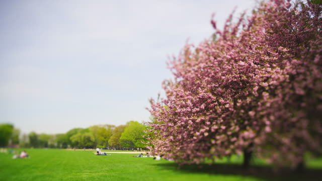 big cherry blossom trees stand on the great lawn in central park new york city ny usa on apr. 29 2019. people relax on the lawn. - great lawn stock videos and b-roll footage