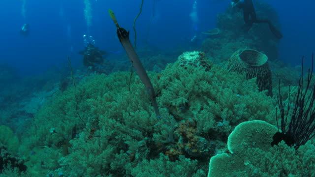 vídeos de stock e filmes b-roll de grande china trumpetfish natação uma cabeça-de-cauda-posição para cima para baixo - cara para baixo