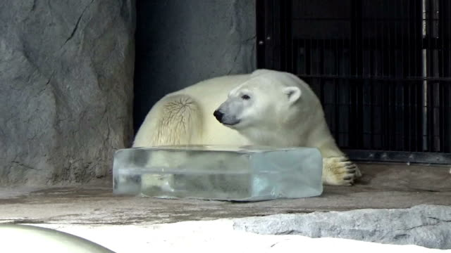 big chunks of ice were given to animals at japan's asahiyama zoo in asahikawa in the northern main island of hokkaido on saturday july 25 polar bears... - kamikawa subprefecture stock videos and b-roll footage