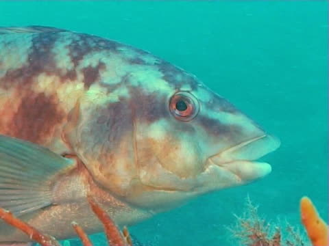 big close up of ballan wrasse fish - gill stock videos & royalty-free footage