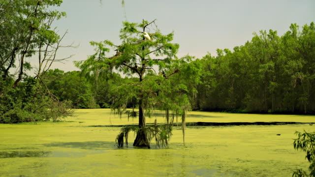 Groß Kolonie Schlangenhalsvogel nistenden mit Fischreiher in der Glatze cypres Baum im wetland. Zypresse-Sumpf, South Carolina, USA