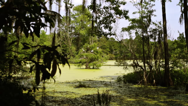 Groß Kolonie, gemeinsam mit den nistenden Anhingas Graureiher im Glatze cypres Baum im wetland. Cypress Swamp, South Carolina, USA