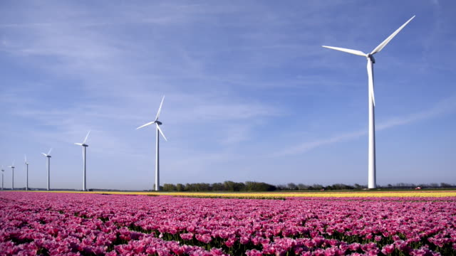 big dutch colorful tulip fields with wind turbines - flower head stock videos & royalty-free footage