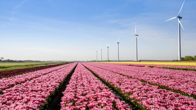 Big Dutch colorful tulip fields with wind turbines
