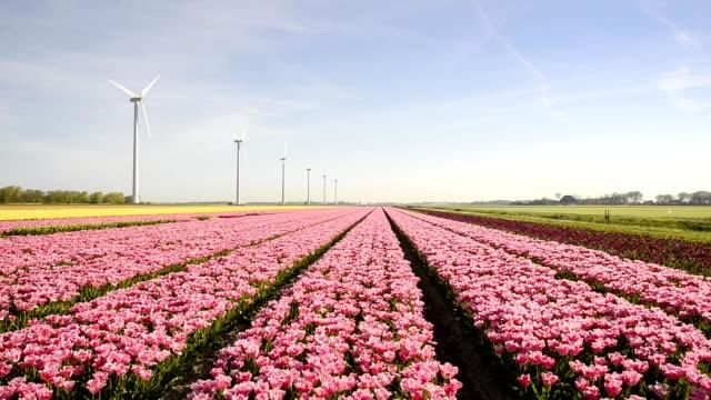 オランダ色鮮やかなチューリップのフィールドに風力タービン - 園芸学点の映像素材/bロール