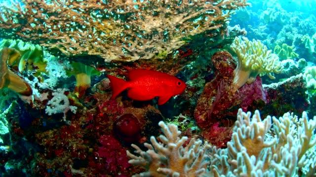 big eye suirrel fish and Marine life on healthy coral reef in Wakatobi National Park, Indonesia.