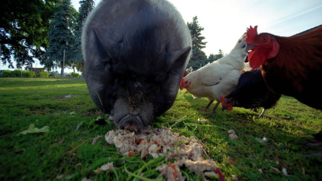big fat pig on farm - leftovers stock videos & royalty-free footage