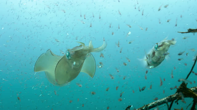 big fin reef squid amongst large shoal of small fish, sulawesi. - tentacle stock videos & royalty-free footage