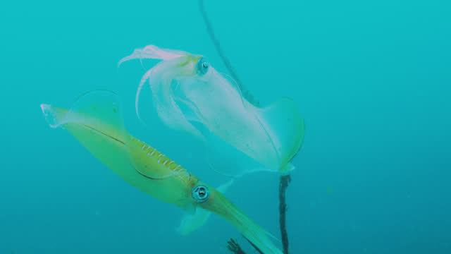 big fin reef squid change colour rapidly, sulawesi. - tentacle stock videos & royalty-free footage